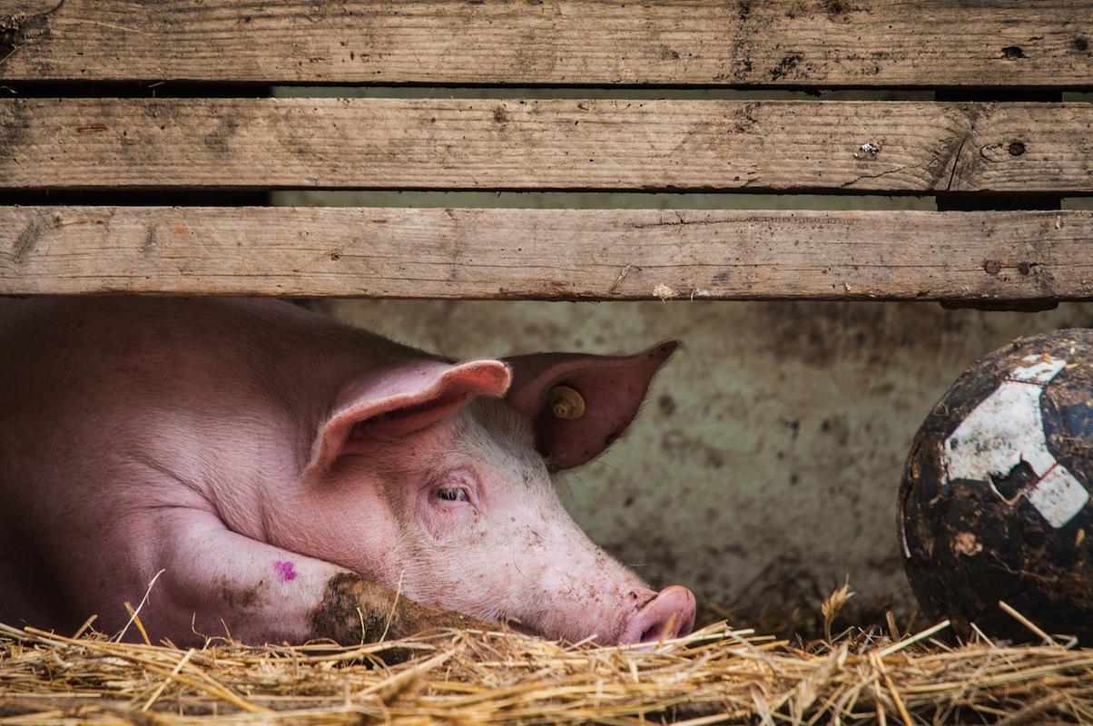 Schwein mit Ball